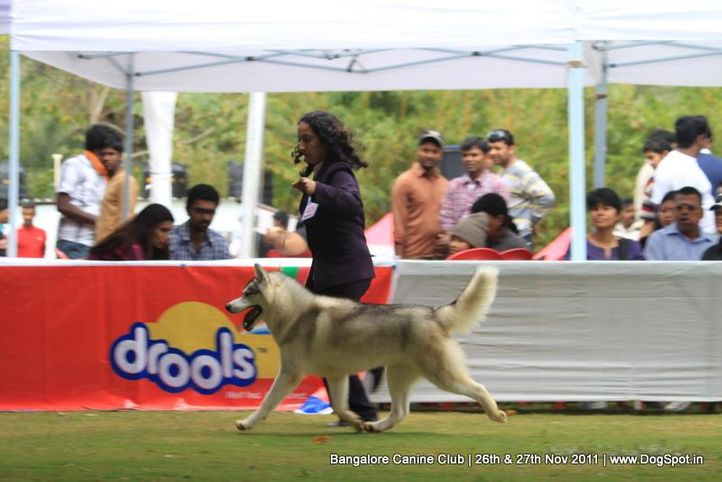 ex-406,siberian husky,sw-49,, Bangalore Canine  Club 2011, DogSpot.in