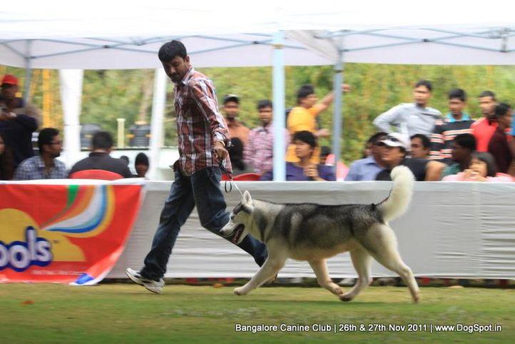 siberian husky,sw-49,, Bangalore Canine  Club 2011, DogSpot.in