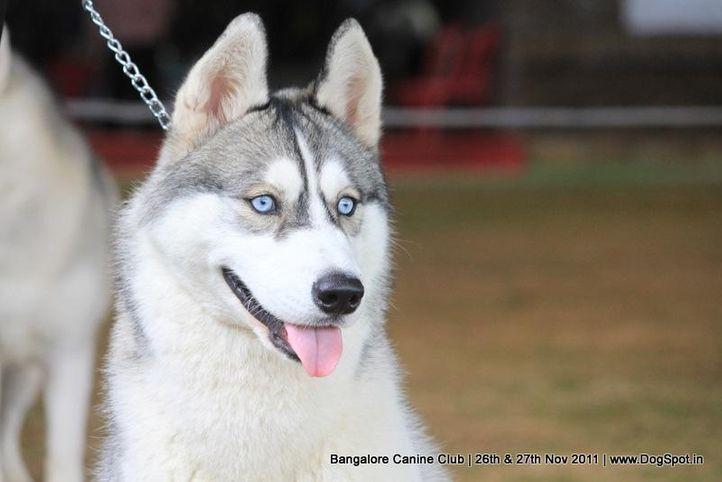 ex-403,siberian husky,sw-49,, Bangalore Canine  Club 2011, DogSpot.in