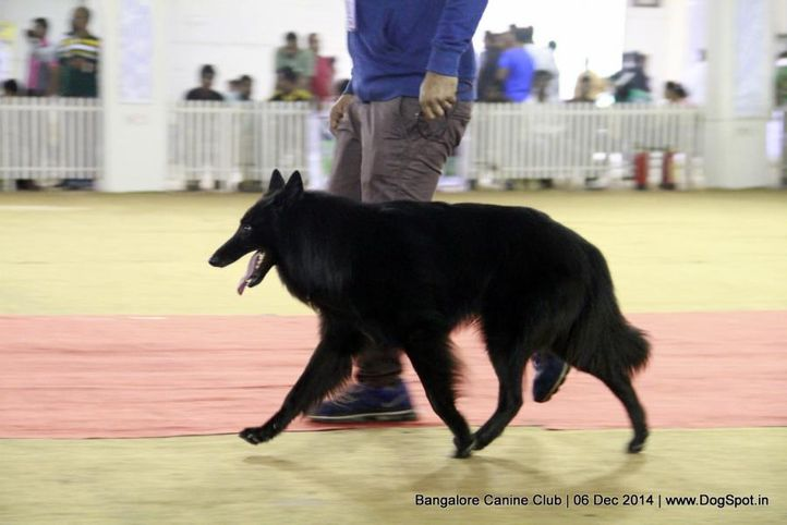 belgian shepherd,ex-450,sw-138,, Bangalore Canine Club 2014, DogSpot.in