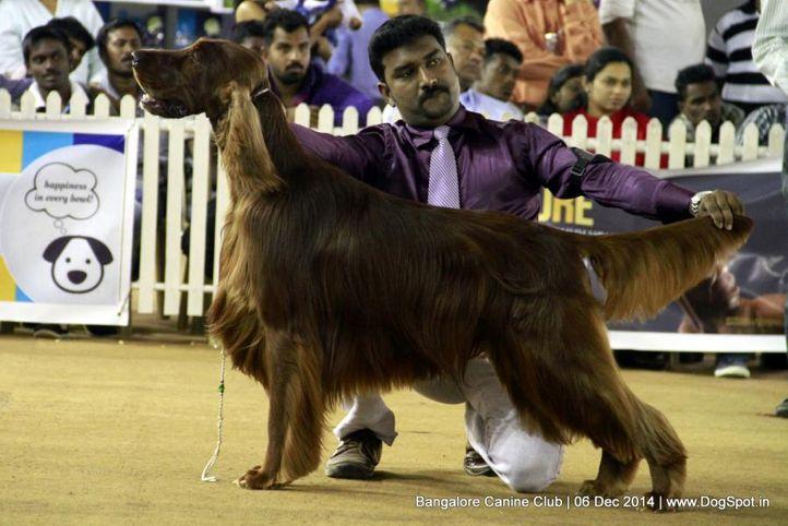 irish setter,sw-138,, Bangalore Canine Club 2014, DogSpot.in