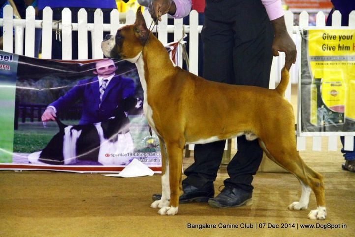 boxer,ex-218,sw-138,, Bangalore Canine Club 2014, DogSpot.in