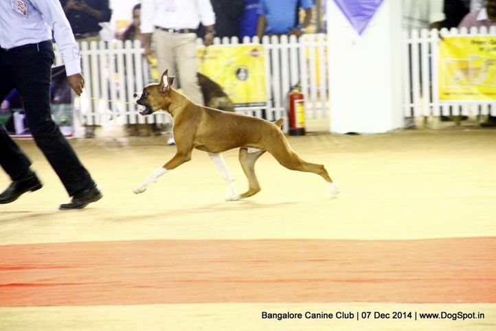 boxer,ex-220,sw-138,, Bangalore Canine Club 2014, DogSpot.in