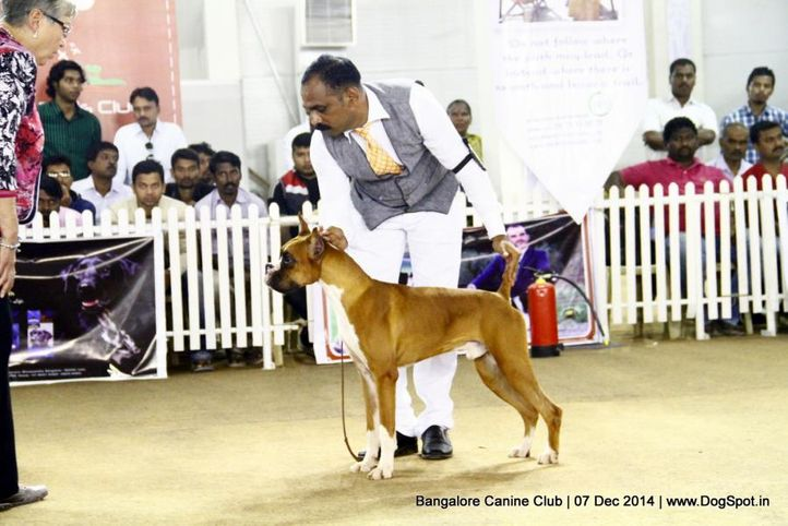 boxer,ex-221,sw-138,, Bangalore Canine Club 2014, DogSpot.in