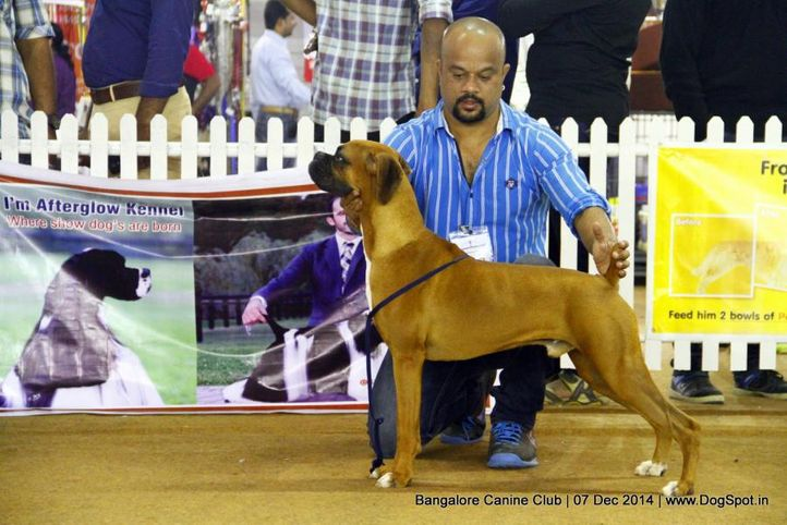 boxer,ex-222,sw-138,, Bangalore Canine Club 2014, DogSpot.in