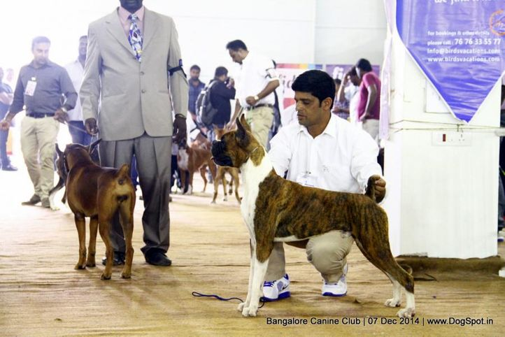 boxer,ex-223,sw-138,, Bangalore Canine Club 2014, DogSpot.in