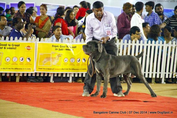 ex-359,neapolitan mastiff,sw-138,, Bangalore Canine Club 2014, DogSpot.in