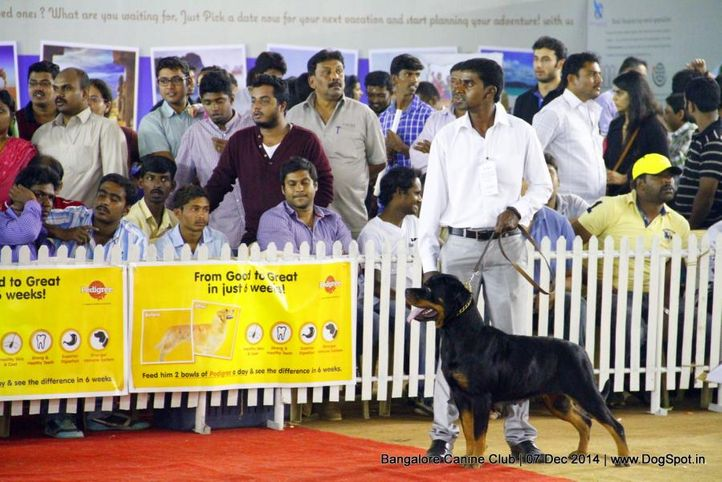 rottweiler,sw-138,, Bangalore Canine Club 2014, DogSpot.in