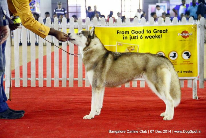 siberian husky,sw-138,, Bangalore Canine Club 2014, DogSpot.in