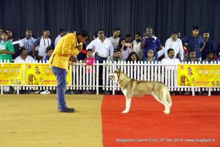 siberian husky,sw-138,, Bangalore Canine Club 2014, DogSpot.in