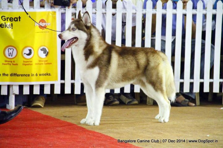 ex-364,siberian husky,sw-138,, Bangalore Canine Club 2014, DogSpot.in