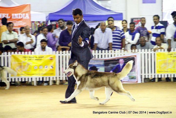 ex-364,siberian husky,sw-138,, Bangalore Canine Club 2014, DogSpot.in