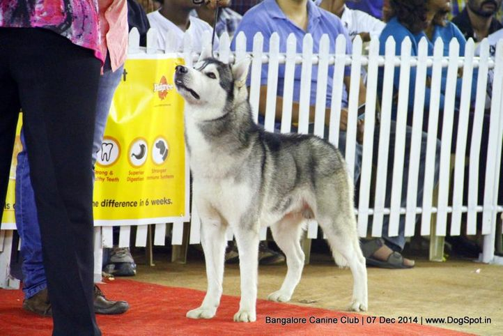 ex-368,siberian husky,sw-138,, Bangalore Canine Club 2014, DogSpot.in