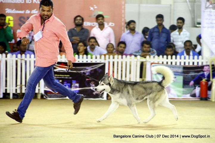 ex-368,siberian husky,sw-138,, Bangalore Canine Club 2014, DogSpot.in