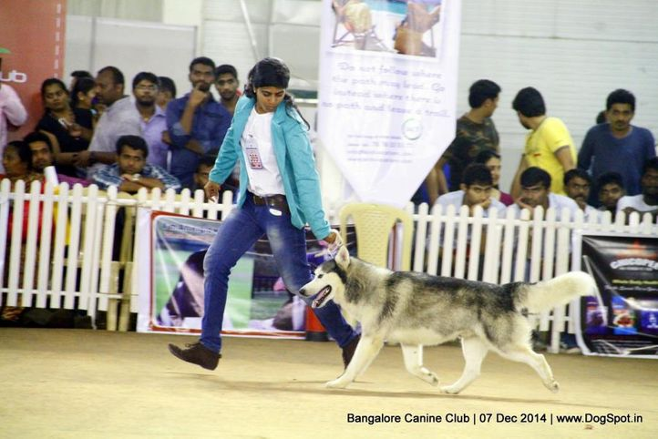 ex-369,siberian husky,sw-138,, Bangalore Canine Club 2014, DogSpot.in