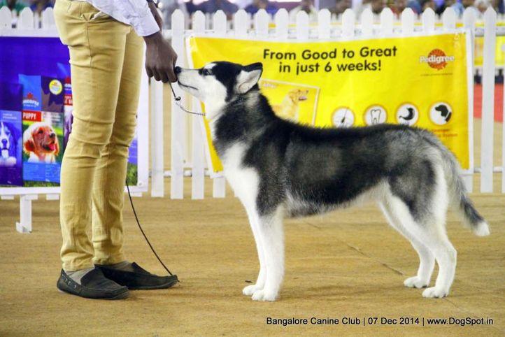 ex-370,siberian husky,sw-138,, Bangalore Canine Club 2014, DogSpot.in