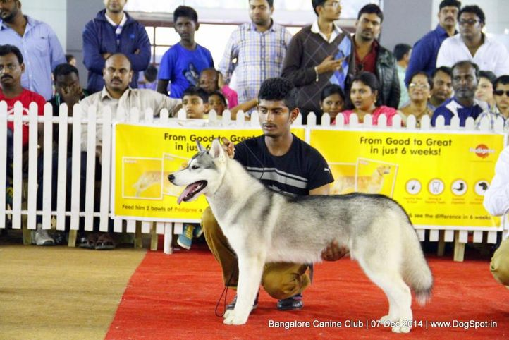 ex-371,siberian husky,sw-138,, Bangalore Canine Club 2014, DogSpot.in
