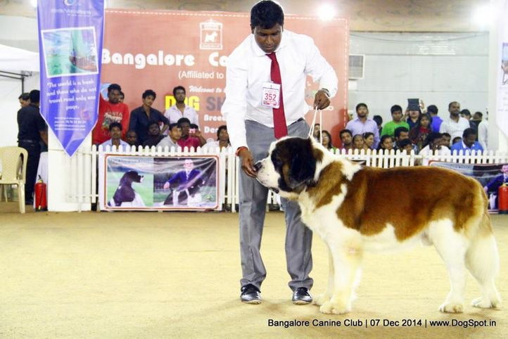 ex-352,st bernard,sw-138,, Bangalore Canine Club 2014, DogSpot.in