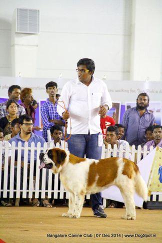 ex-355,st bernard,sw-138,, Bangalore Canine Club 2014, DogSpot.in
