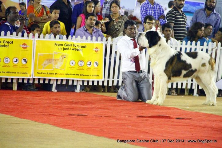 ex-357,st bernard,sw-138,, Bangalore Canine Club 2014, DogSpot.in