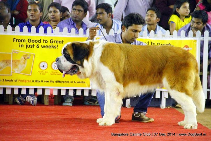 st bernard,sw-138,, Bangalore Canine Club 2014, DogSpot.in