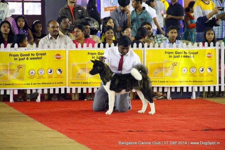 akita,ex-27,sw-138,, Bangalore Canine Club 2014, DogSpot.in