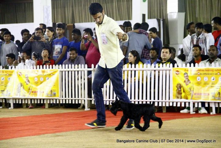 ex-42,schnauzer,sw-138,, Bangalore Canine Club 2014, DogSpot.in