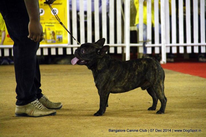 french bulldog,sw-138,, Bangalore Canine Club 2014, DogSpot.in
