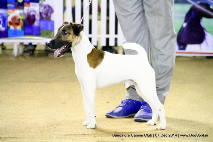 fox terrier smooth,sw-138,, Bangalore Canine Club 2014, DogSpot.in