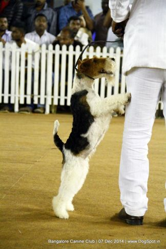 fox terrier wired,sw-138,, Bangalore Canine Club 2014, DogSpot.in