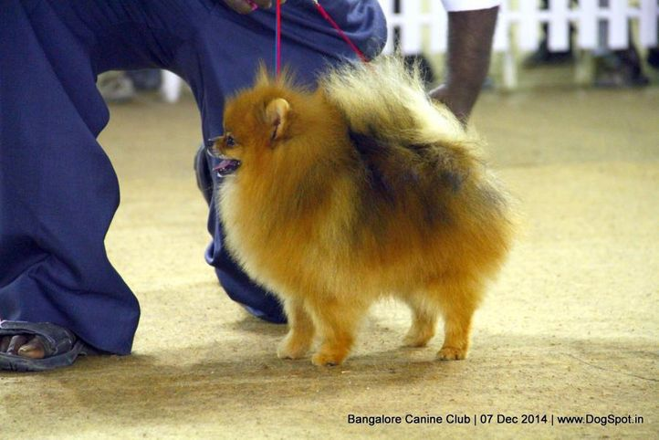 pomeranian,sw-138,, Bangalore Canine Club 2014, DogSpot.in
