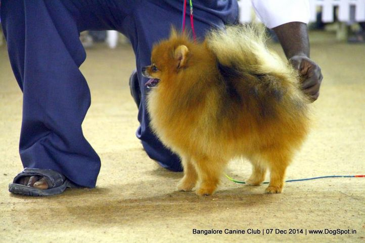 pomeranian,sw-138,, Bangalore Canine Club 2014, DogSpot.in