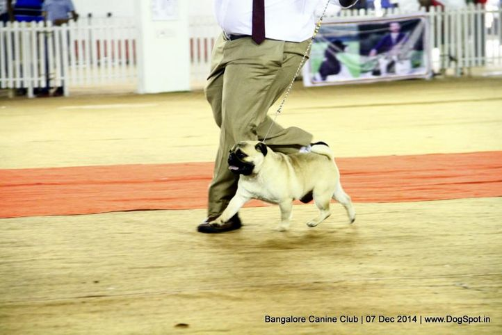 ex-12,pug,sw-138,, Bangalore Canine Club 2014, DogSpot.in