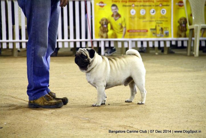 ex-14,pug,sw-138,, Bangalore Canine Club 2014, DogSpot.in