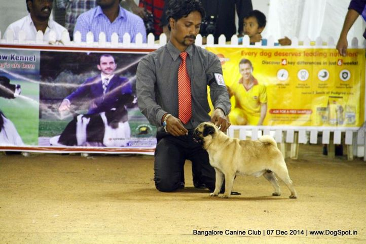 ex-15,pug,sw-138,, Bangalore Canine Club 2014, DogSpot.in