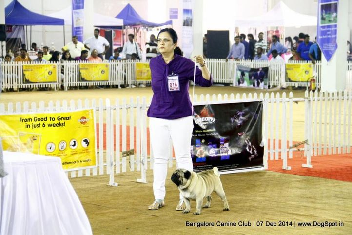 ex-16,pug,sw-138,, Bangalore Canine Club 2014, DogSpot.in