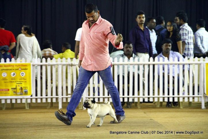 ex-17,pug,sw-138,, Bangalore Canine Club 2014, DogSpot.in