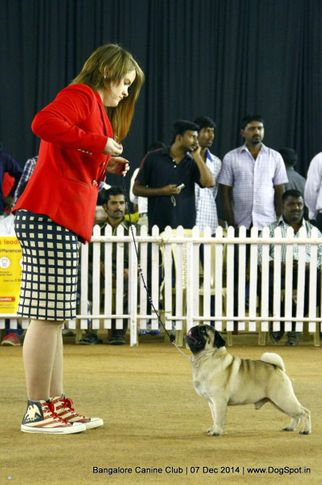 ex-19,pug,sw-138,, Bangalore Canine Club 2014, DogSpot.in