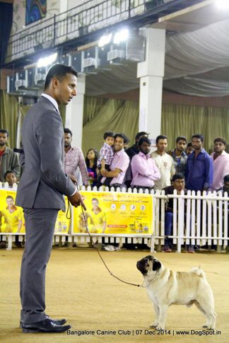 ex-20,pug,sw-138,, Bangalore Canine Club 2014, DogSpot.in