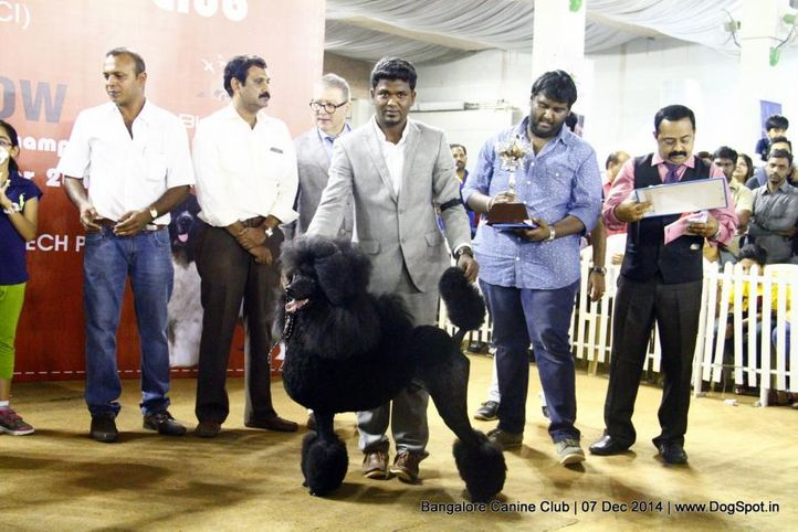 best in show,poodle standard,sw-138,, Bangalore Canine Club 2014, DogSpot.in