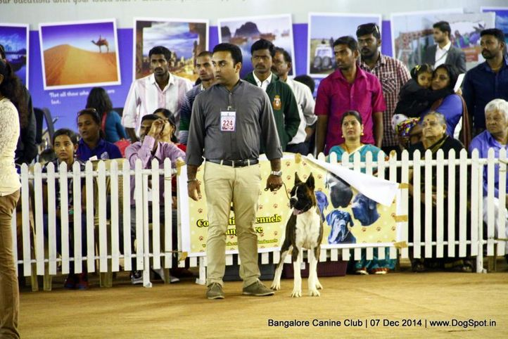 boxer,ex-224,sw-138,, Bangalore Canine Club 2014, DogSpot.in