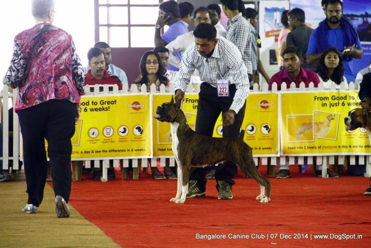 boxer,ex-227,sw-138,, Bangalore Canine Club 2014, DogSpot.in