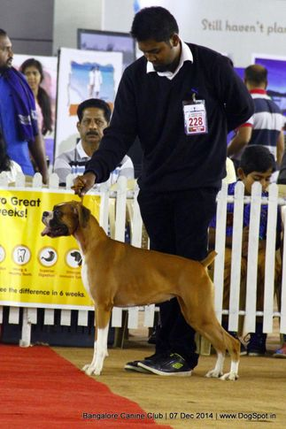 boxer,ex-228,sw-138,, Bangalore Canine Club 2014, DogSpot.in