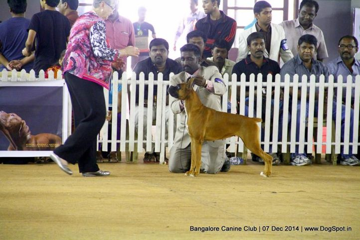 boxer,ex-230,sw-138,, Bangalore Canine Club 2014, DogSpot.in