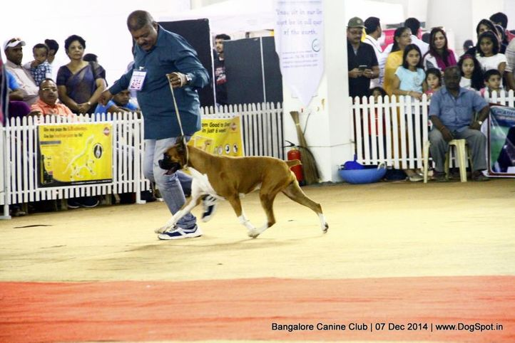 boxer,ex-234,sw-138,, Bangalore Canine Club 2014, DogSpot.in