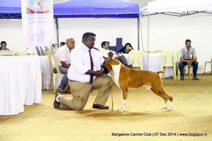 boxer,ex-235,sw-138,, Bangalore Canine Club 2014, DogSpot.in