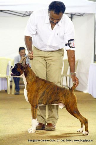 boxer,ex-237,sw-138,, Bangalore Canine Club 2014, DogSpot.in