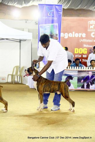 boxer,ex-238,sw-138,, Bangalore Canine Club 2014, DogSpot.in