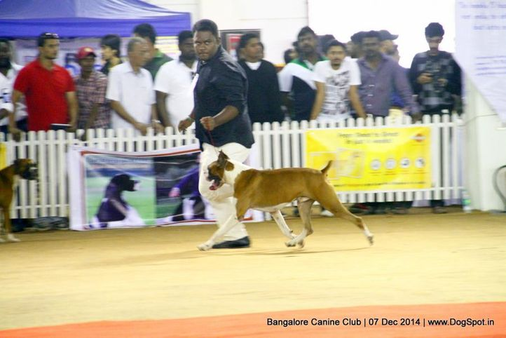 boxer,ex-239,sw-138,, Bangalore Canine Club 2014, DogSpot.in