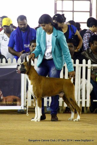 boxer,ex-240,sw-138,, Bangalore Canine Club 2014, DogSpot.in
